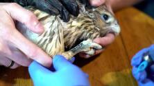 Tatuar a los halcones: la estrategia de veterinarios para protegerlos
