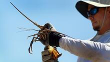 Lo que debes tener en cuenta sobre la minitemporada de caza de langosta en Florida que comienza este miércoles