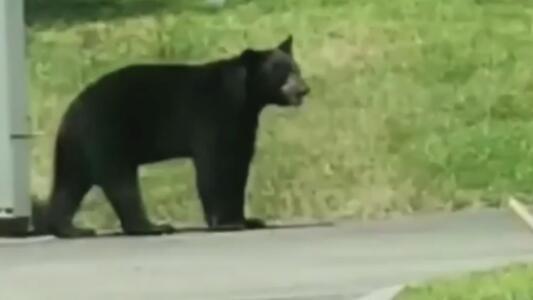 En video quedó registrado un oso que está deambulando por las calles de Homestead y que tiene en alerta a la comunidad