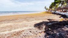 El sargazo se acumula sin control en las playas del caribe mexicano