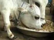 Tiene el tamaño de un perro pero es una vaca: Rani podría entrar al libro de récords Guinness